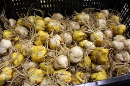 Bulb cultivation sector targets zero farmyard emissions