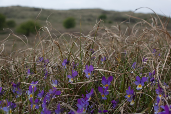 Seaside pansy in a calcareous dune grassland.