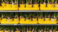 Handvatten voor bloembollenteelt ter voorbereiding op nul-emissie